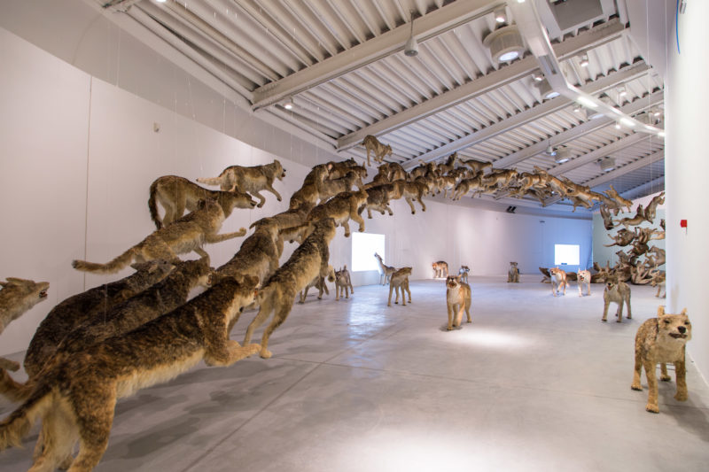 Cai Guo-Qiang, Head On, 2006, 99 life-sized replicas of wolves and glass wall, Centro Pecci, Prato, 2016