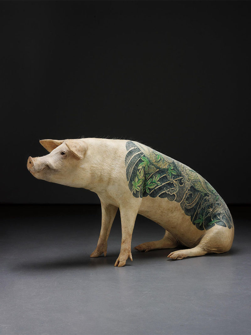 Wim Delvoye is tattooing pigs. Is this cruel?