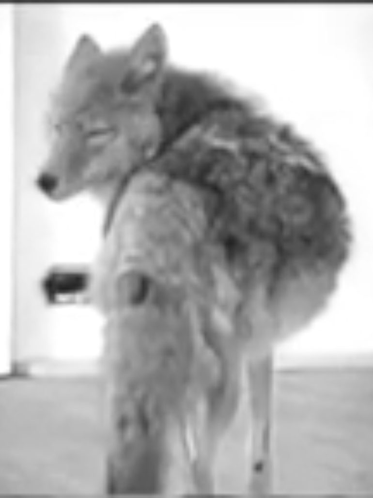 Joseph Beuys locked in with a Coyote - I like America