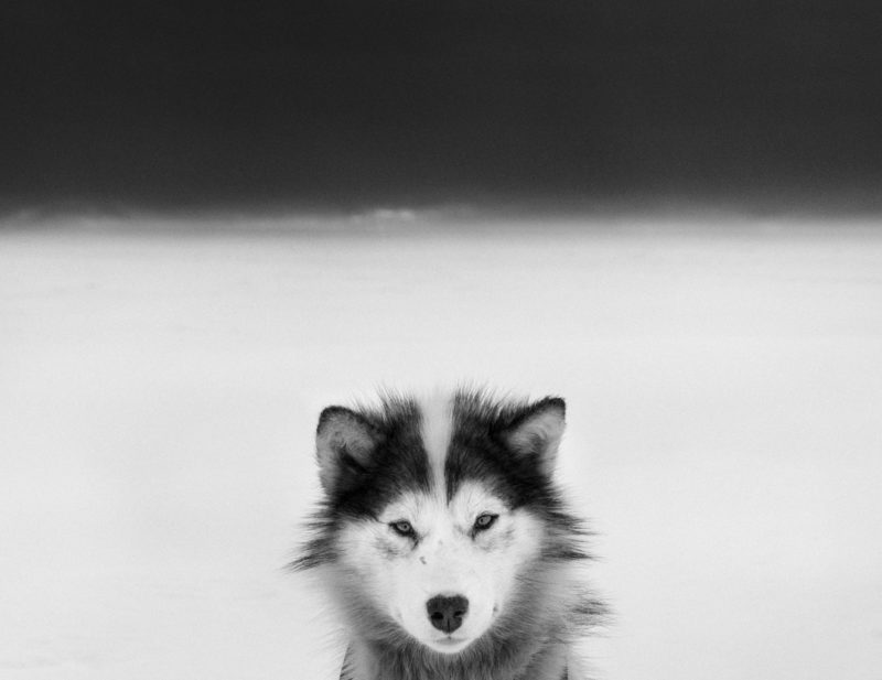 Ragnar Axelsson - Last Days of the Arctic - Baffin Dog
