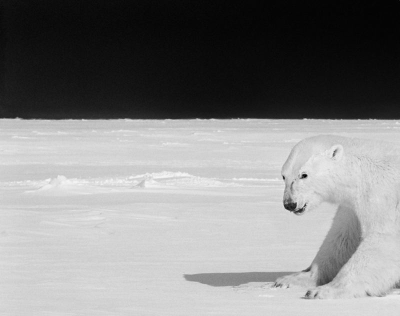 Ragnar Axelsson - Last Days of the Arctic - Polar bear on the ice near Baffin Island