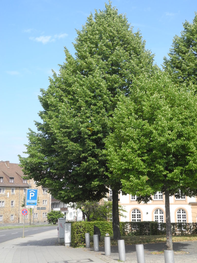 Joseph Beuys - <em>7000 oaks - Urban forest instead of city administration (7000 Eichen - Stadtverwaldung statt Stadtverwaltung)</em>, planted in 1986, started in 1982 at documenta 7 in Kassel, Germany, social sculpture, Frankfurter Straße, Theatervorplatz, Kassel, Germany